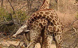giraffe_fight