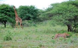 giraffe_cheetah