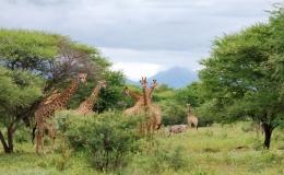 zebra_giraffe