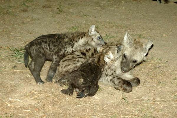 hyenas_drinking