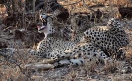 cheetah_yawn