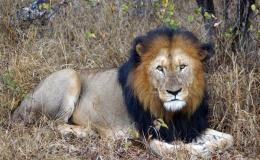 lion_mcfarlane