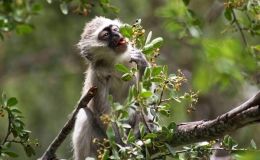 vervet_eating