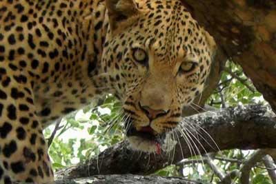 schmitz_leopard