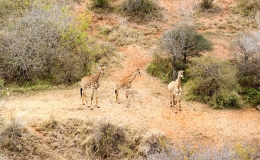 giraffe_heli