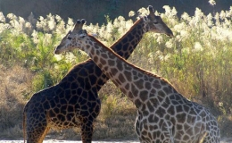 giraffe_couple