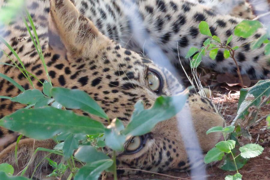 Makutsi leopard