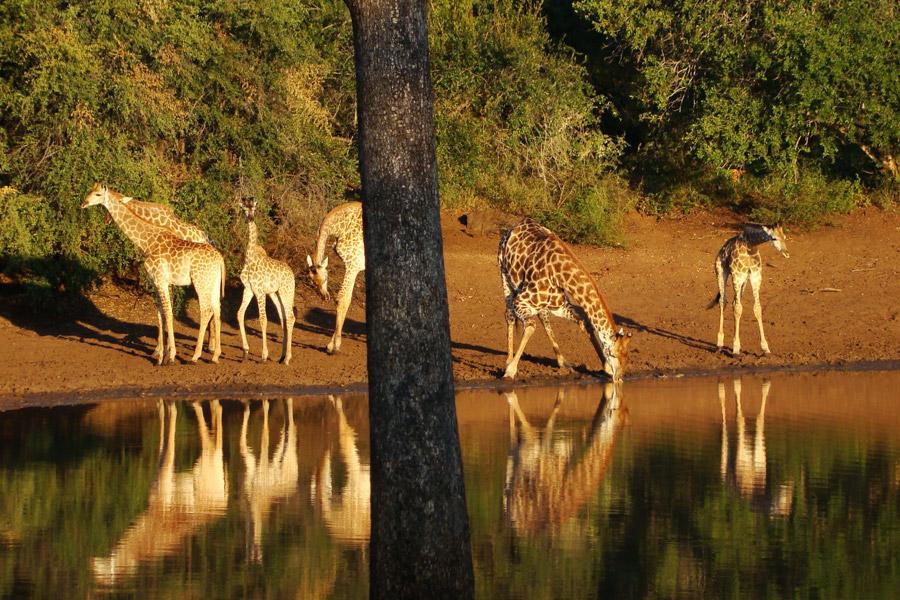 Makutsi giraffe