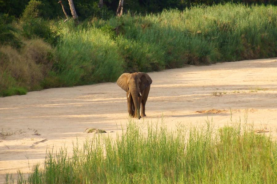 Elephant in Makutsi River