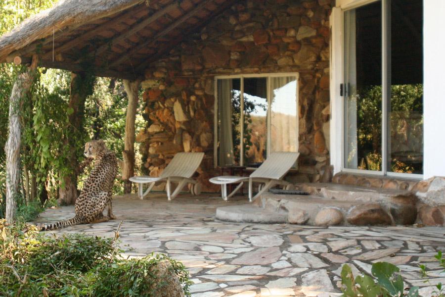 Cheetah checking in
