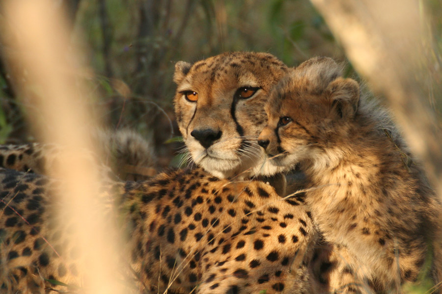 Makutsi cheetah