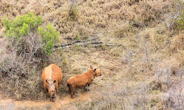 Rhino control from Heli
